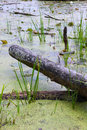 Swamp log a cut fallen lays in a swampy bog in lapeer michigan Royalty Free Stock Image