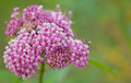 Swamp milkweed closeup of flowers asclepias incarnata Stock Photo