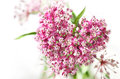 Swamp milkweed flower wild in the heart shape Royalty Free Stock Photo