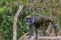Swamp monkey an allen s sits on a rock Royalty Free Stock Photo