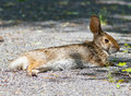 Swamp rabbit sylvilagus aquaticus lying on a path Stock Photo
