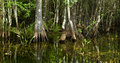 Swamp Scene in Florida Everglades Royalty Free Stock Photo