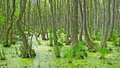 Swamp trees in the green nature Stock Images