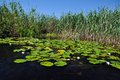 Swamp vegetation in the danube delta green Stock Image