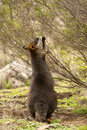 Swamp wallaby feeding Royalty Free Stock Photo