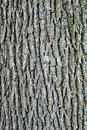 Swamp white oak bark Royalty Free Stock Photo