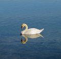 Swan while adult swims on the lake Stock Photography