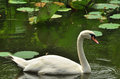 Swan amid water lilies pads swimming and lily Royalty Free Stock Image