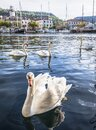 Swan in the bay of the coastal town of Skradin, Croatia Royalty Free Stock Photo