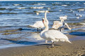 Swan on the beach on the Baltic Sea. Royalty Free Stock Photo