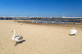 Swan on the beach in sopot beautiful poland Royalty Free Stock Image