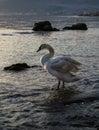 Swan at Beach Royalty Free Stock Photo