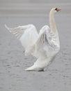 Cisne pájaro