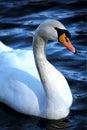 Swan On A Blue Lake
