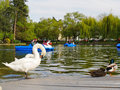Swan boats and white swans on the lake