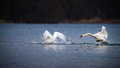 Swan chasing another swan on blue water two swans landing clear one is the other with his beak open while the other turns to Stock Photography