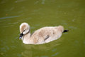 Swan chick beautiful little on the water Royalty Free Stock Photo