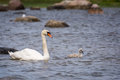 Swan and chick mother her Royalty Free Stock Photos