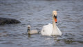 Swan and chick mother her Stock Photos