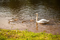 Swan and chick swans on the lake Royalty Free Stock Photos
