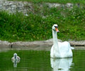 Swan chick swims in the lake Royalty Free Stock Photography