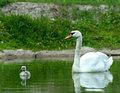 Swan chick swims in the lake Royalty Free Stock Photos