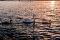 Swan with chicks on the lake at sunset