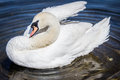 Swan cleaning itself floating on a pond Royalty Free Stock Photos