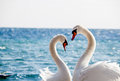 Swan couple on a background of water close up Royalty Free Stock Image