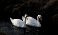 Swan couple searching for food Royalty Free Stock Photo
