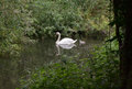 Swan and cygnet with a swimming in tranquil tree lined river Stock Image