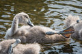 Swan cygnet young mute preening Royalty Free Stock Photos