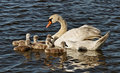 Swan with cygnets in baltic sea water Royalty Free Stock Photography