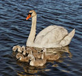 Swan with cygnets in baltic sea water Royalty Free Stock Photos