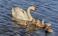 Swan with cygnets in baltic sea water Stock Photo