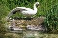Swan And Cygnets Enjoying The ...
