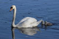 Swan and Cygnets Royalty Free Stock Photo