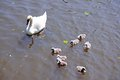 Swan with cygnets on the River Avon. Royalty Free Stock Photo