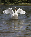 Swan Dance Royalty Free Stock Photo