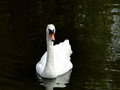 Swan on dark pond a white swims the waters of a city Stock Image