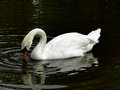Swan on dark pond a white swims the waters of a city Royalty Free Stock Images