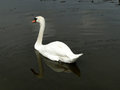 Swan on dark pond a white swims the waters of a city Stock Photos