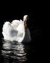 Swan on dark water looking towards camera with feathers raised and refected at the lake of wollaton park nottingham Stock Photo