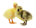 Swan ducklings isolated on the white background Royalty Free Stock Photography