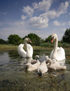 Swan family Royalty Free Stock Photo