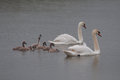 Swan family and chick calling for attention a lovely Stock Image