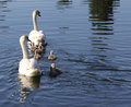 Swan Family On First Outing
