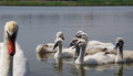 Swan family floating on the water parent guarding its children Royalty Free Stock Photos