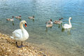 Swan family on lake shore Royalty Free Stock Photos