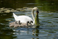Swan family mother feed her five babies in water Royalty Free Stock Image